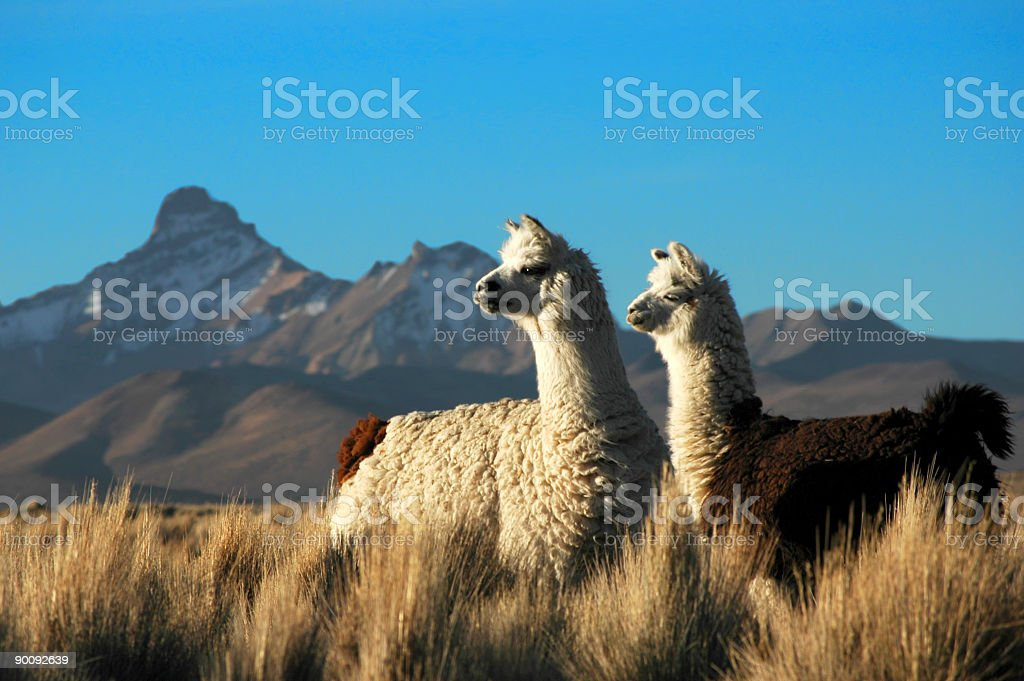 Two Alpacas royalty-free stock photo