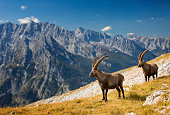 Two Alpine Ibex in front of Mount Watzmann , Alps