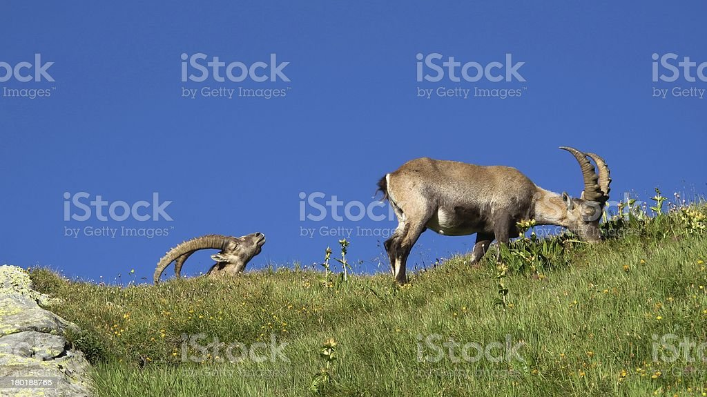 Two alpine ibex on a meadow royalty-free stock photo