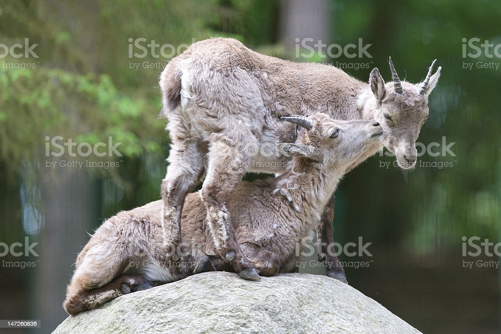 two Alpine Ibex playing royalty-free stock photo
