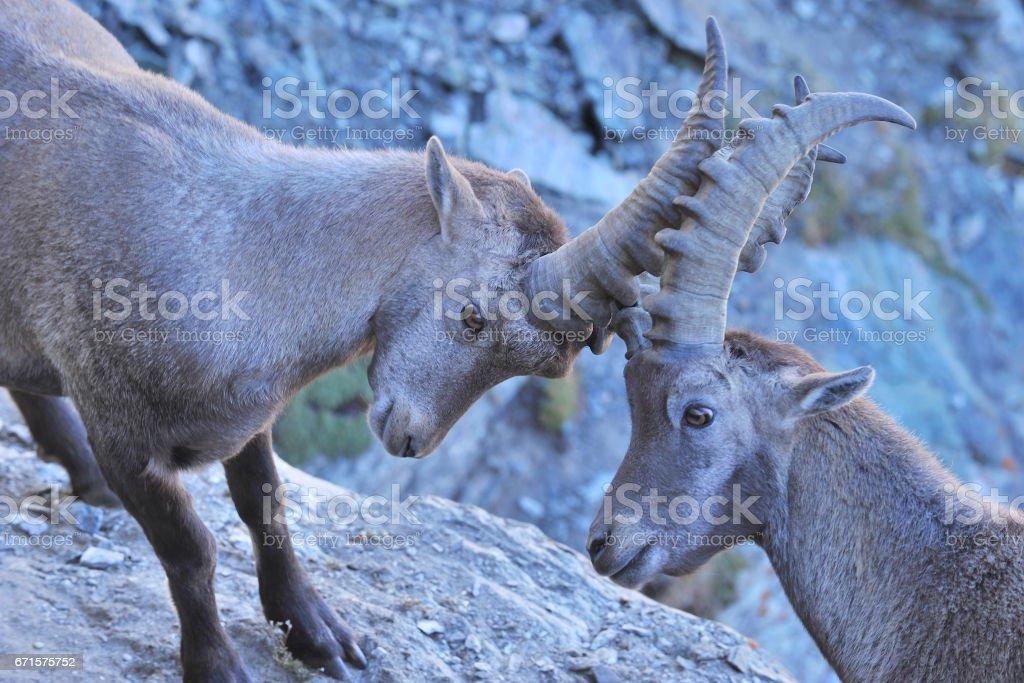 Two Alpine Ibexs Fighting stock photo