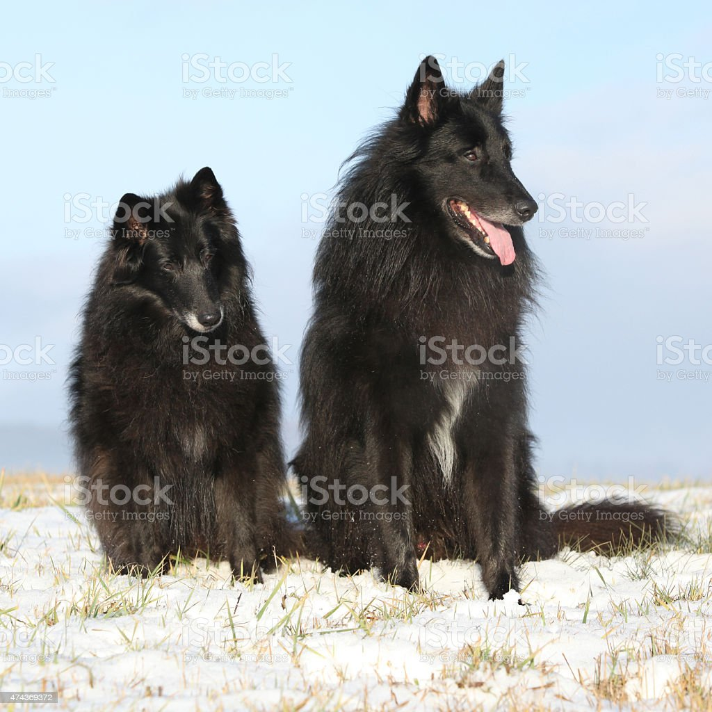 Two amazing Groenendaels sitting in winter stock photo