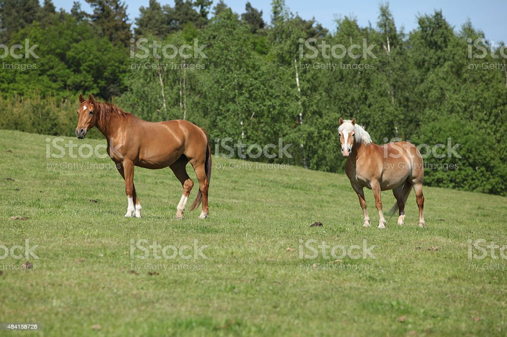 Two amazing horses standing on pasturage stock photo