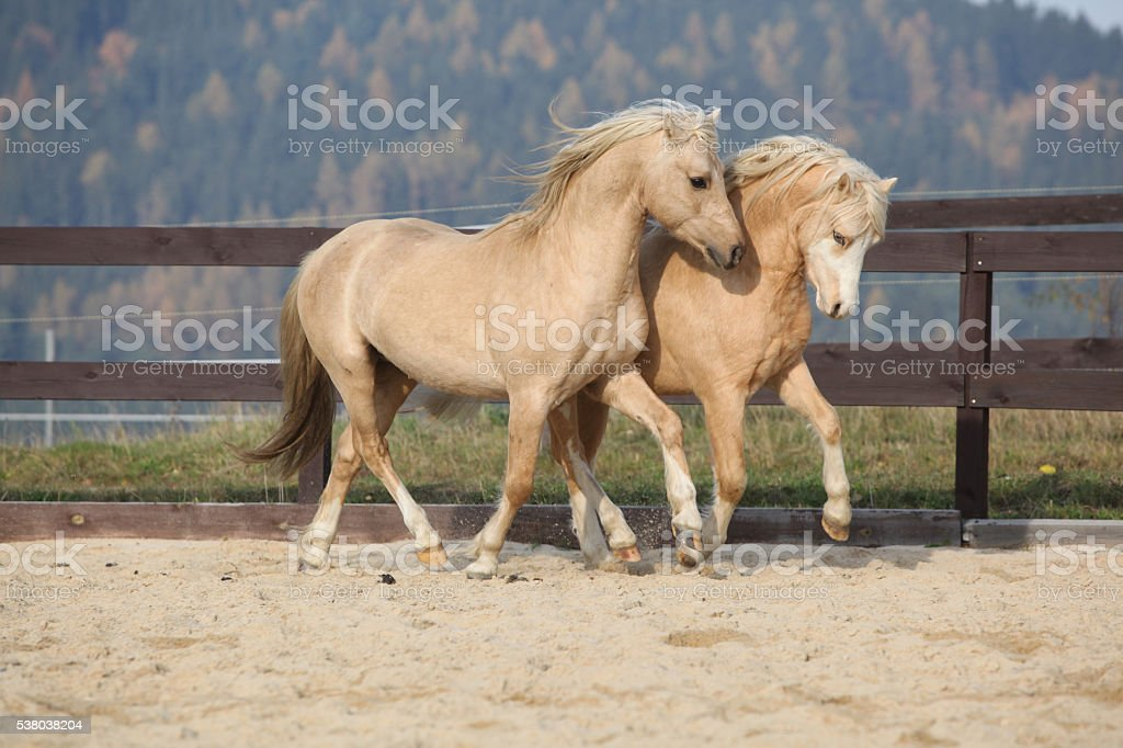 Two amazing stallions playing together stock photo