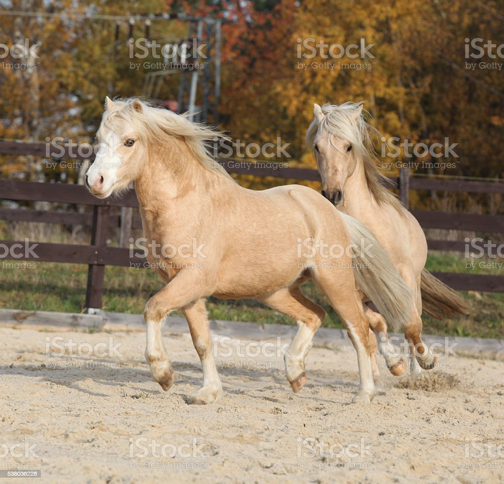 Two amazing welsh pony stallions playing together stock photo