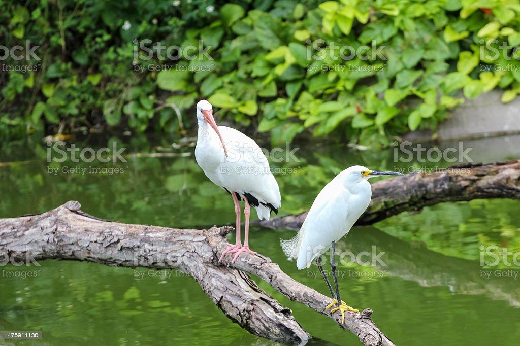 Two American White Ibis stock photo