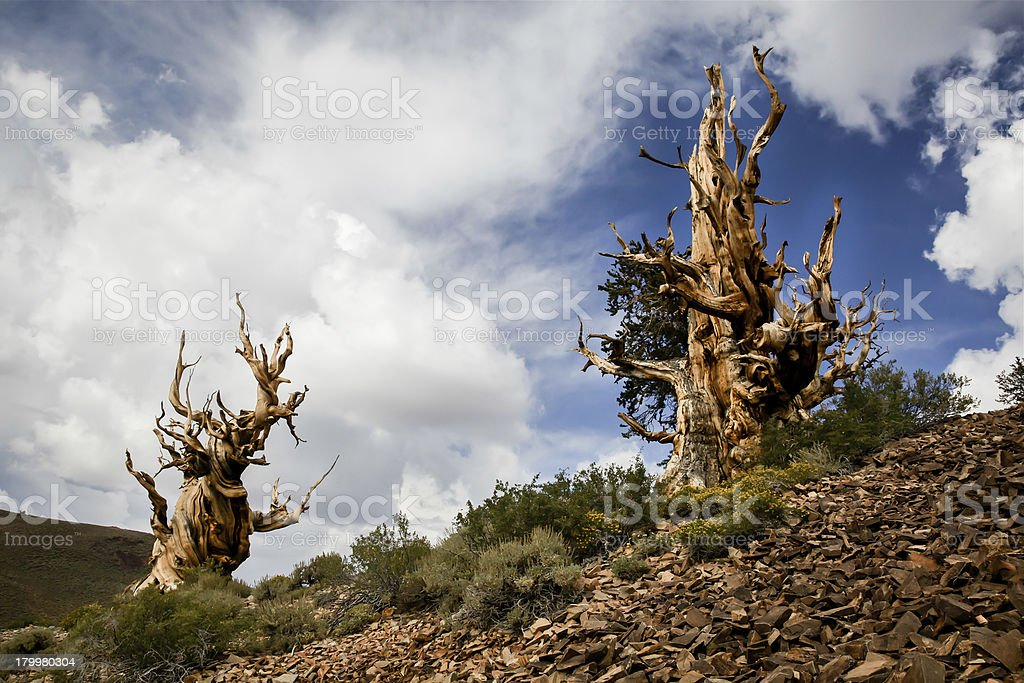 Two Ancient Bristlecone Pine Trees stock photo
