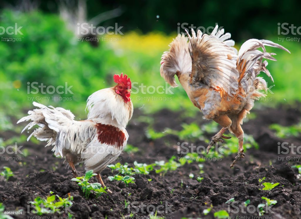 two angry cocks fighting to spread its wings and feathers and flying high stock photo