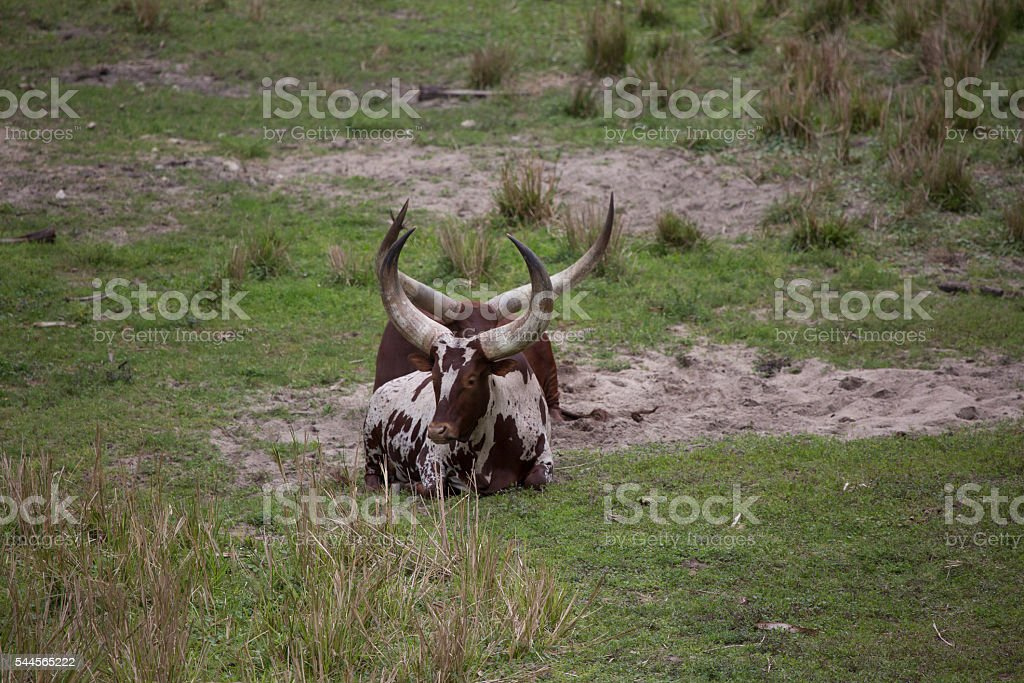 Two Ankole - Watusi cattle brown and white laying down stock photo