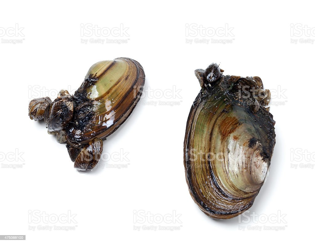 Two anodontas (river mussels) overgrown with small mussels stock photo