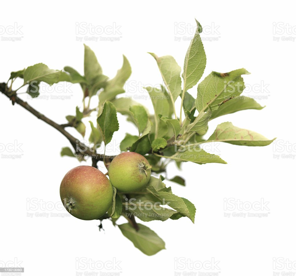 Two apples on a branch isolated stock photo