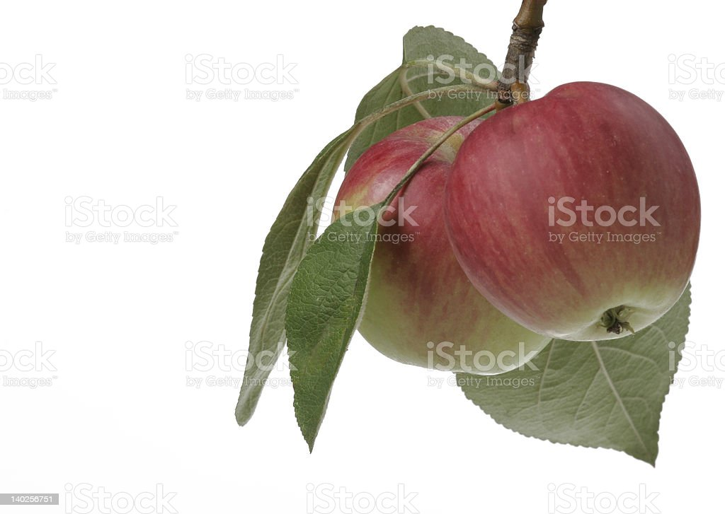 Two apples on a tree stock photo