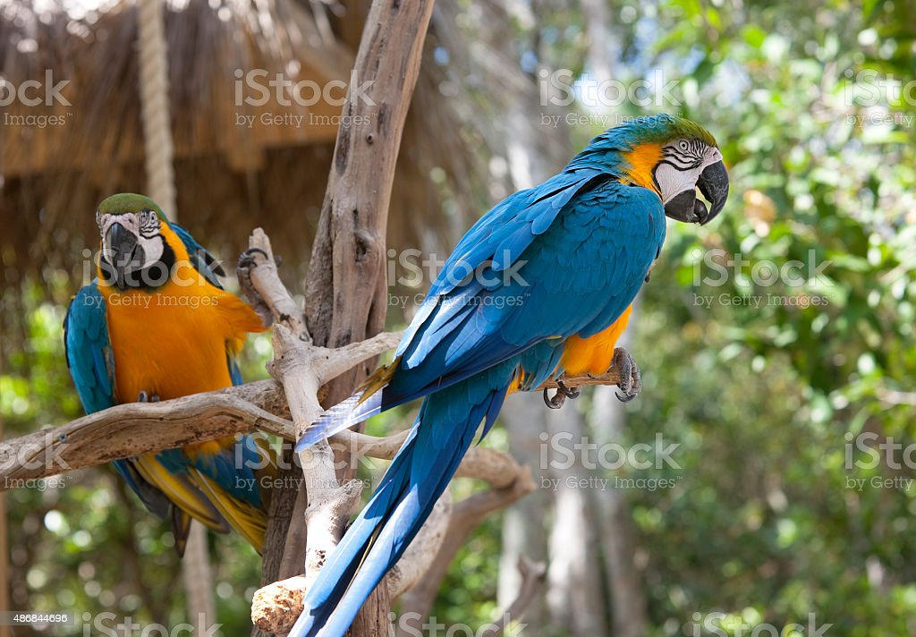 Two Ara parrots on the branch stock photo