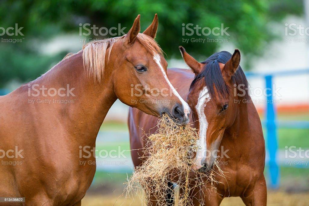 Two Arabian horses eating hay outdoor stock photo