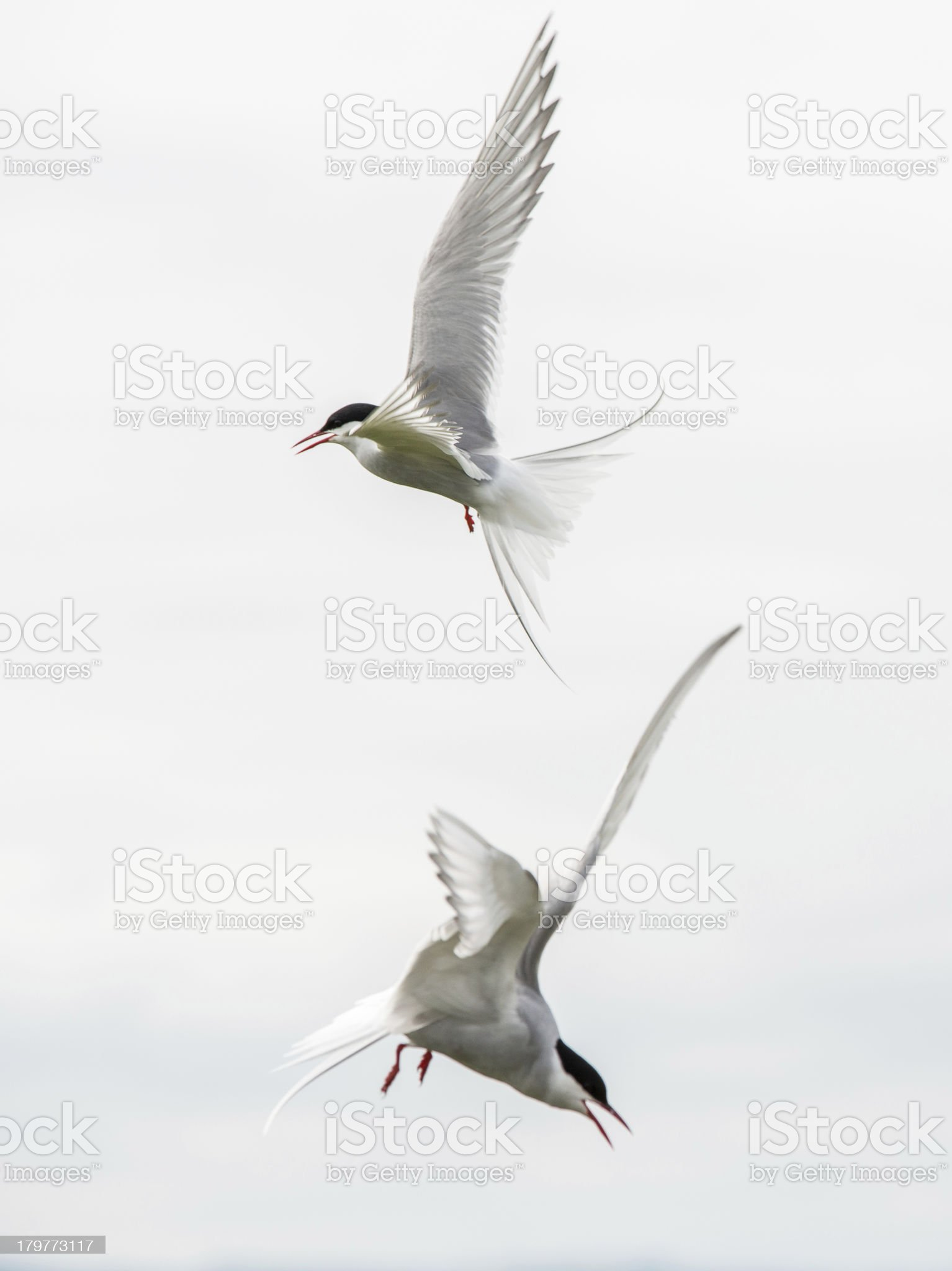 Two arctic terns attacking (Farne Islands, UK) royalty-free stock photo