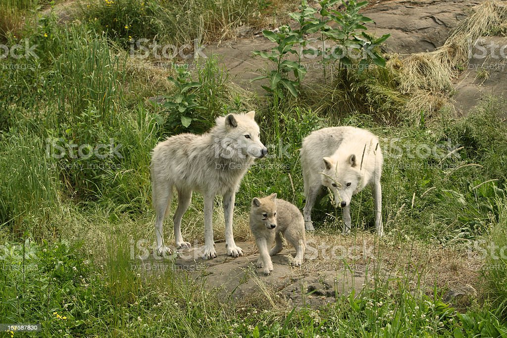 Two Arctic Wolves and cub stock photo