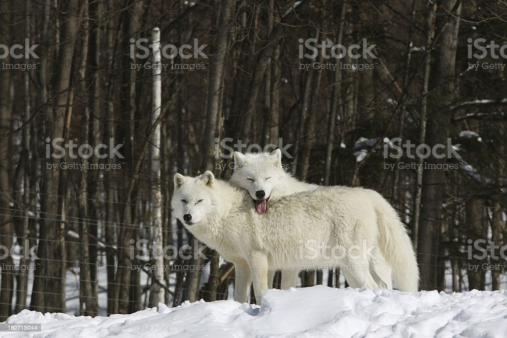 Two Arctic Wolves in Winter stock photo