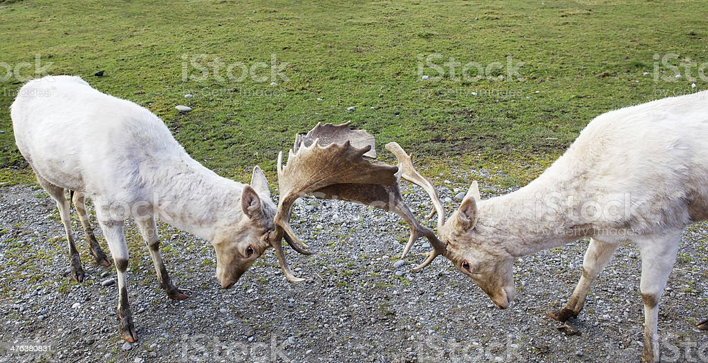 Two Arguing Fallow Deer royalty-free stock photo