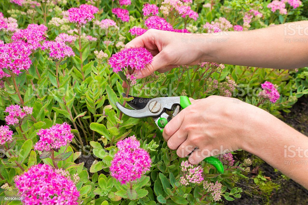 Two arms cutting flower with pruning shears stock photo