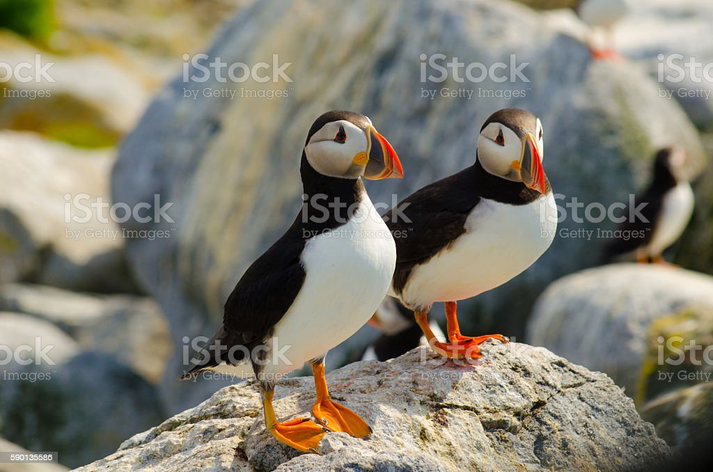 Two Atlantic puffins standing on a rock stock photo