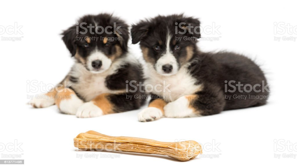 Two Australian Shepherd puppies, lying and looking at knuckle bone stock photo