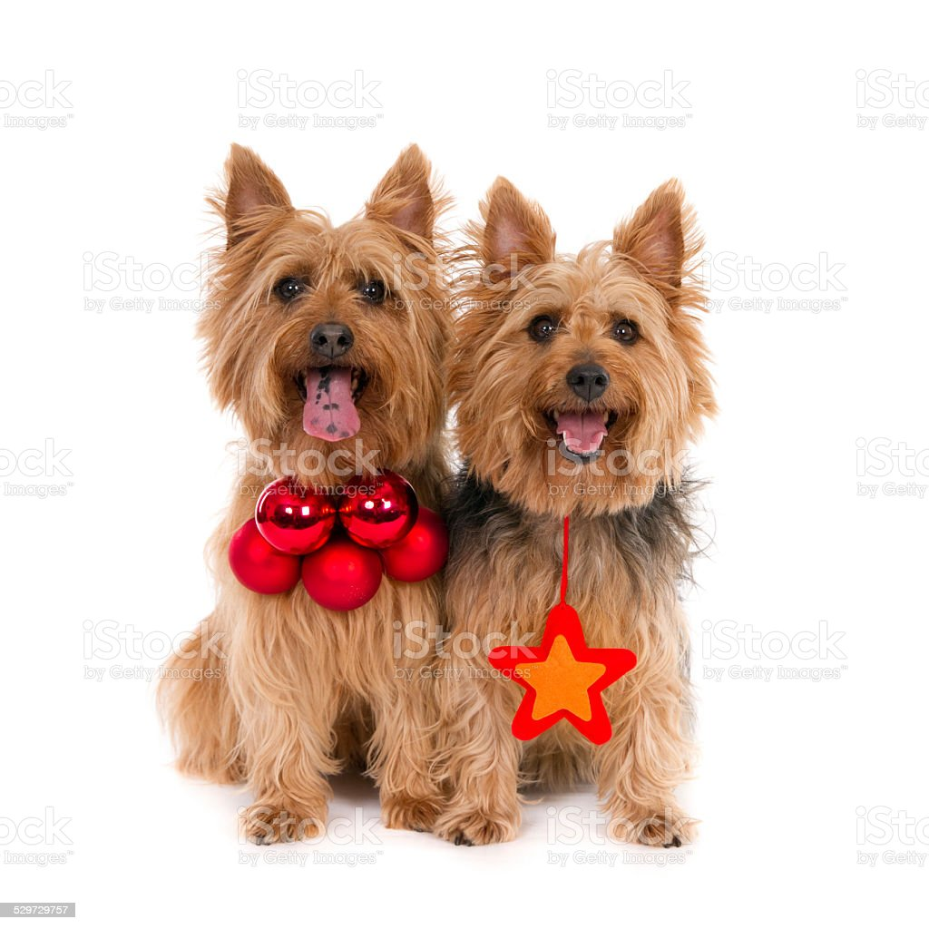 Two Australian Terriers with Christmas decorations. stock photo