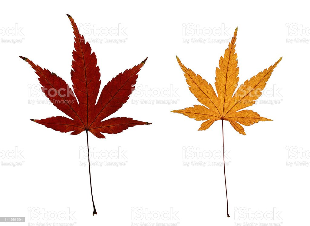 Two Autumn Japanese Maple Leaves Isolated on White royalty-free stock photo