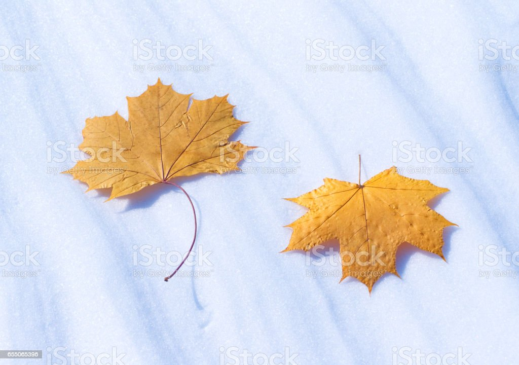 Two autumn leaves on snow in the winter stock photo