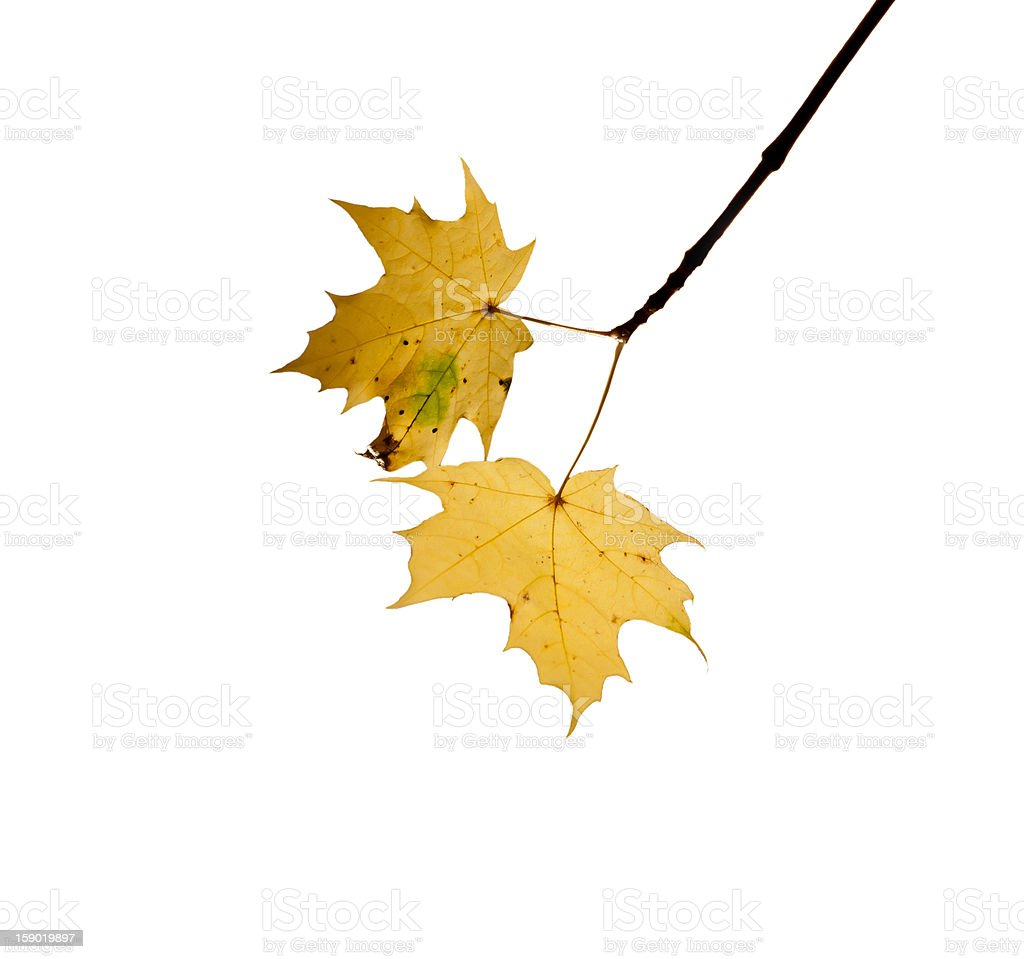 Two autumn leaves on white background royalty-free stock photo