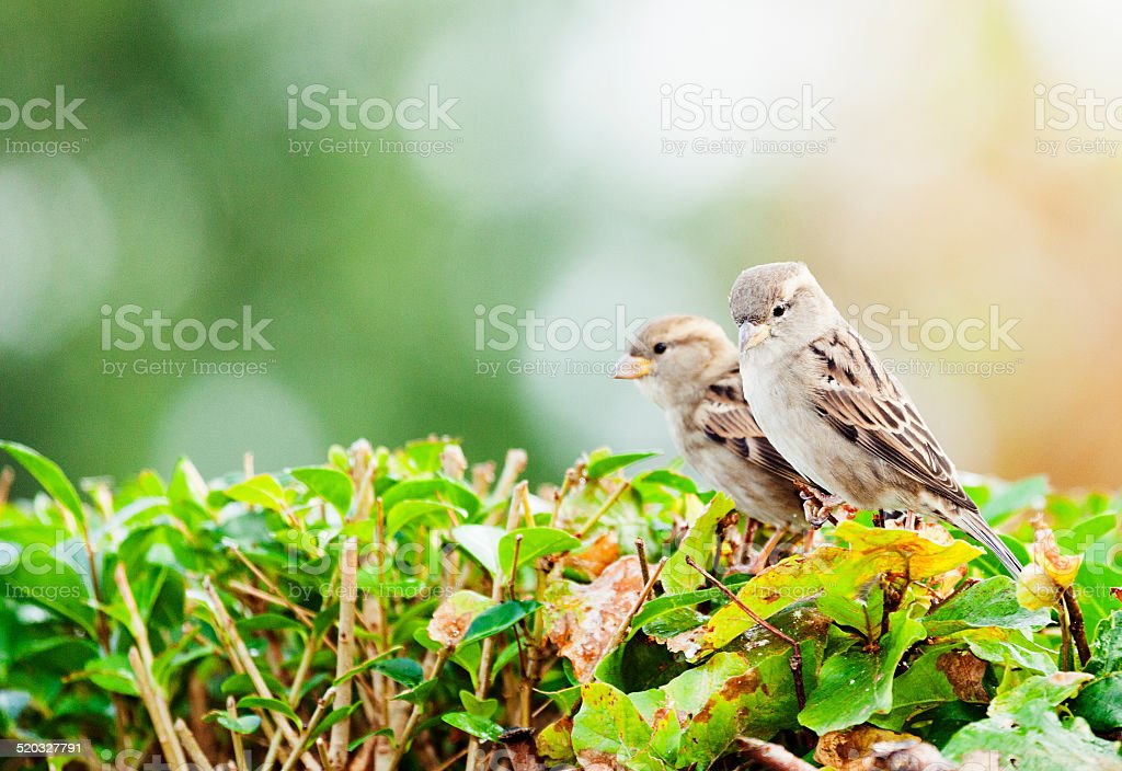 Two autumn sparrows with blurry background stock photo