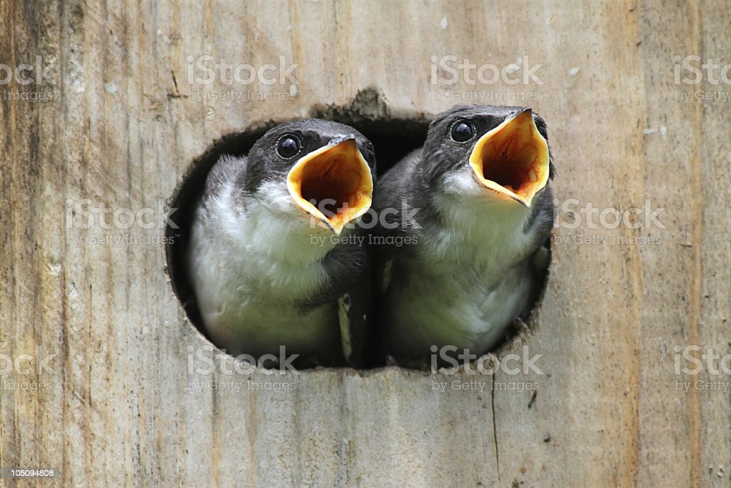Two baby birds on a wooden bird house royalty-free stock photo