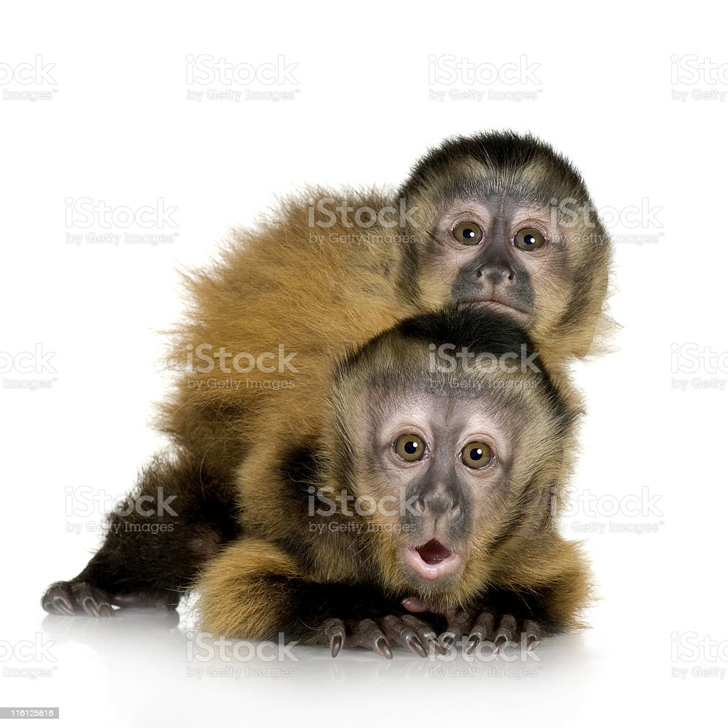 Two Baby Capuchins - sapajou apelle stock photo