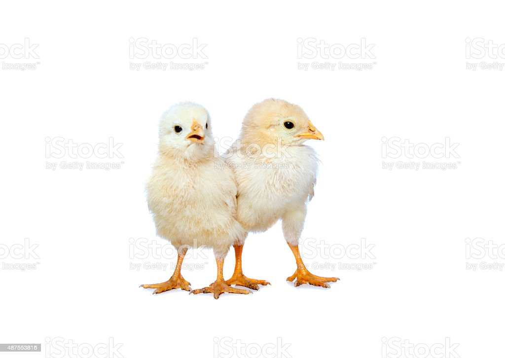two baby chicken stock photo