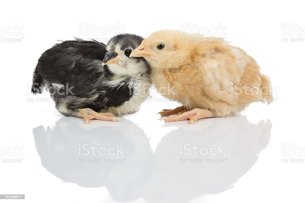 Two baby chicks and their shadows royalty-free stock photo