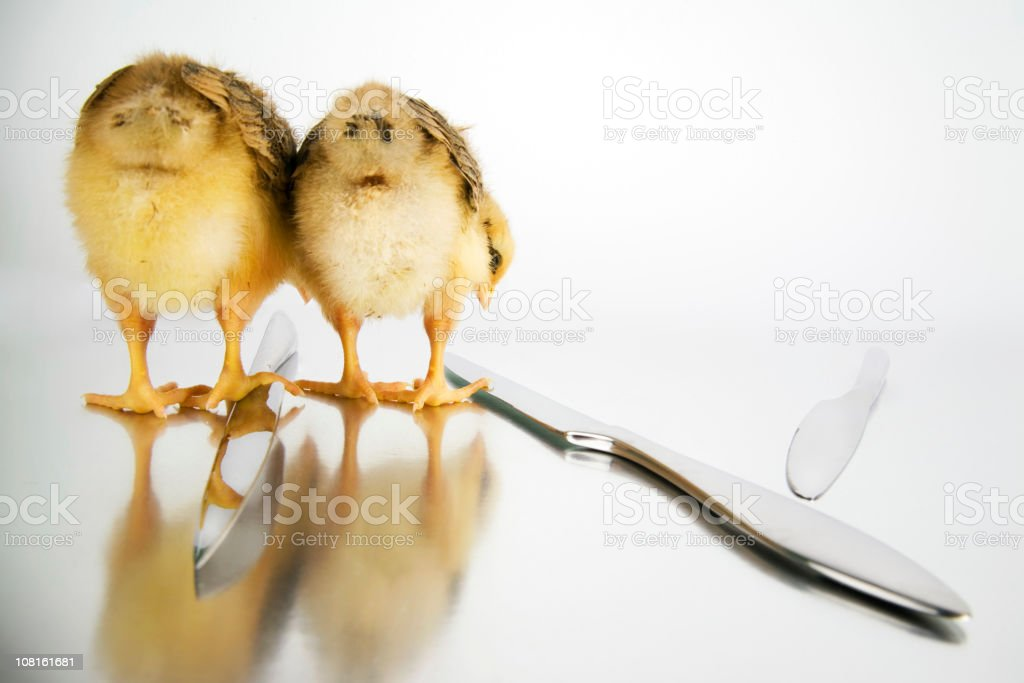 Two Baby Chicks Bending and Looking at Knives royalty-free stock photo