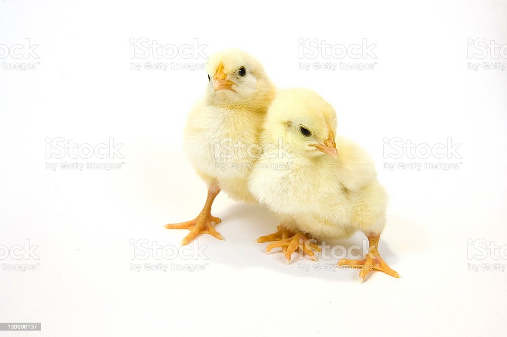 Two baby chicks together royalty-free stock photo