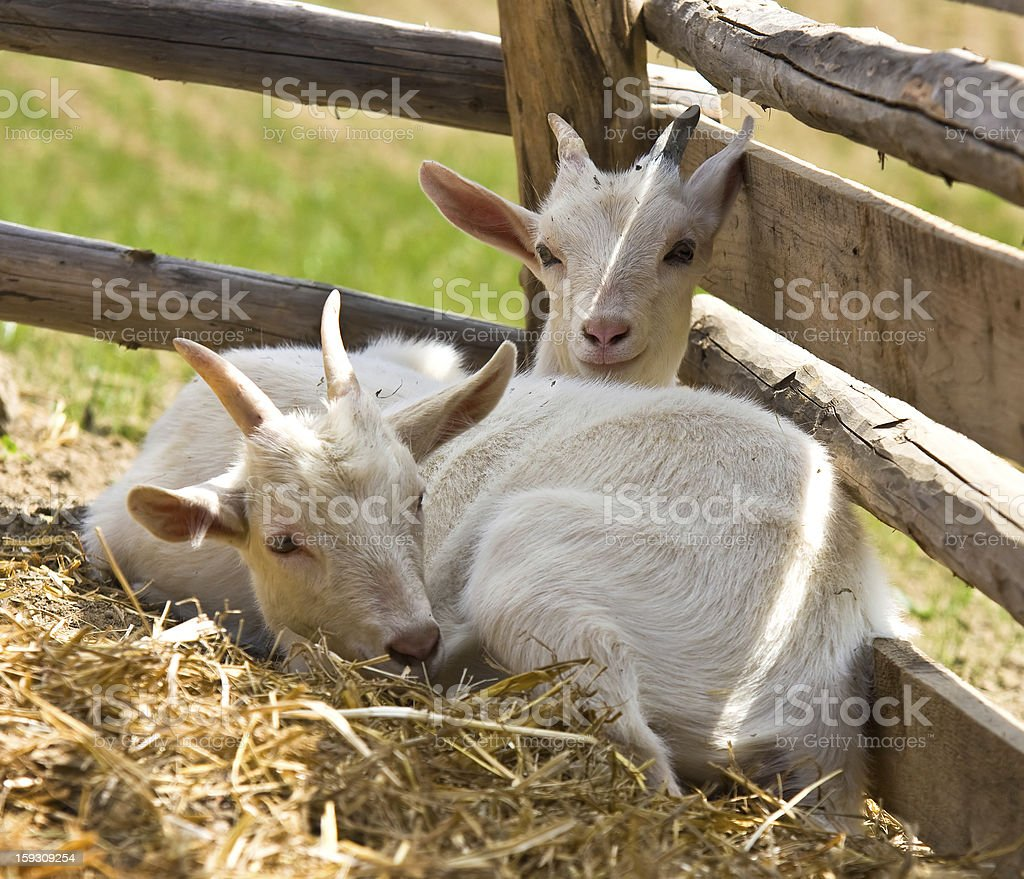 Two baby goat royalty-free stock photo