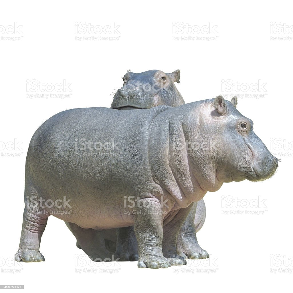 two baby hippos, isolated on white stock photo