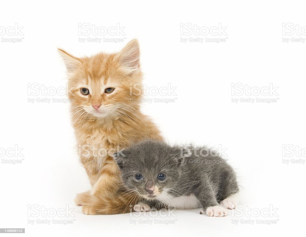 Two baby kittens - one in a series stock photo