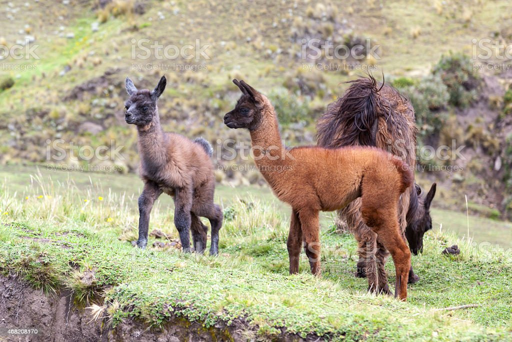 two baby llama a few days old stock photo