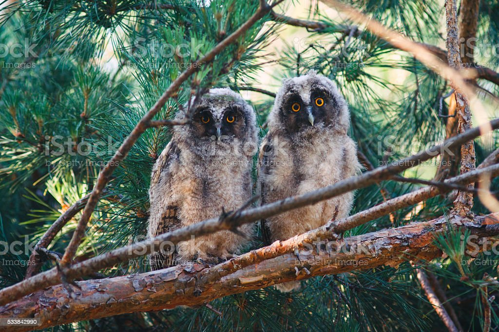 Two baby long eared owls sitting on a branch stock photo