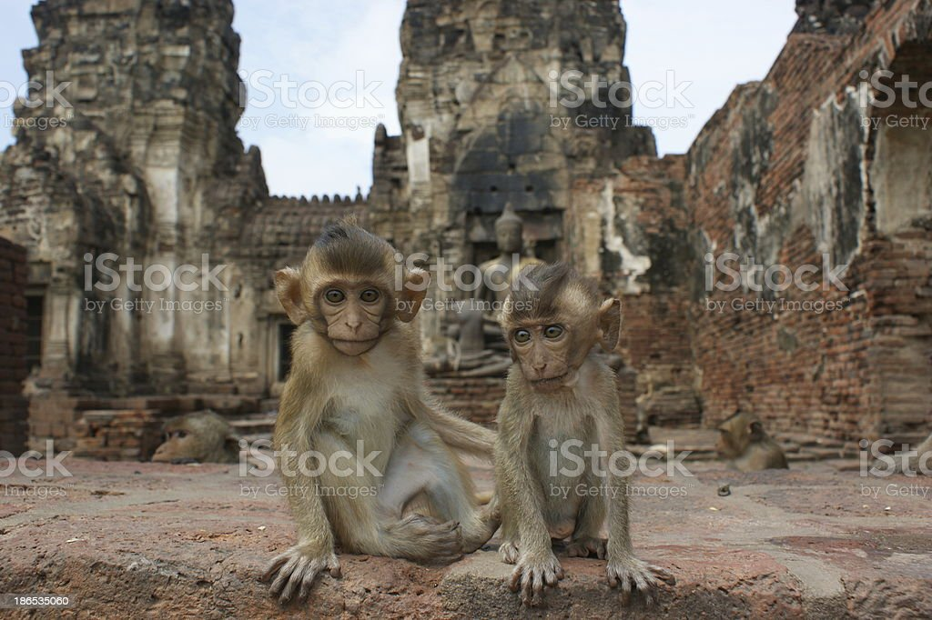 Two baby Macaques stock photo