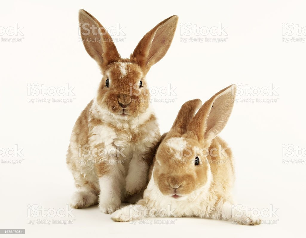 Two Baby Rabbits royalty-free stock photo