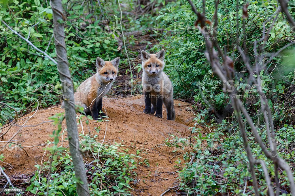 Two Baby Red Foxes Sitting On Dirt Mound stock photo
