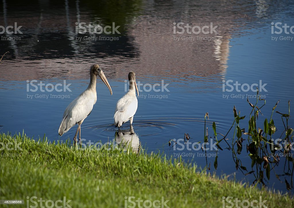 Two baby storks on a lake in Florida stock photo