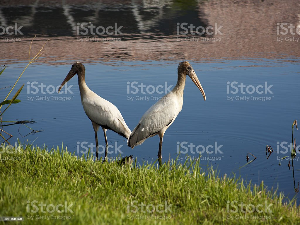 Two baby storks on a lake in Florida. Usa. Amerika stock photo
