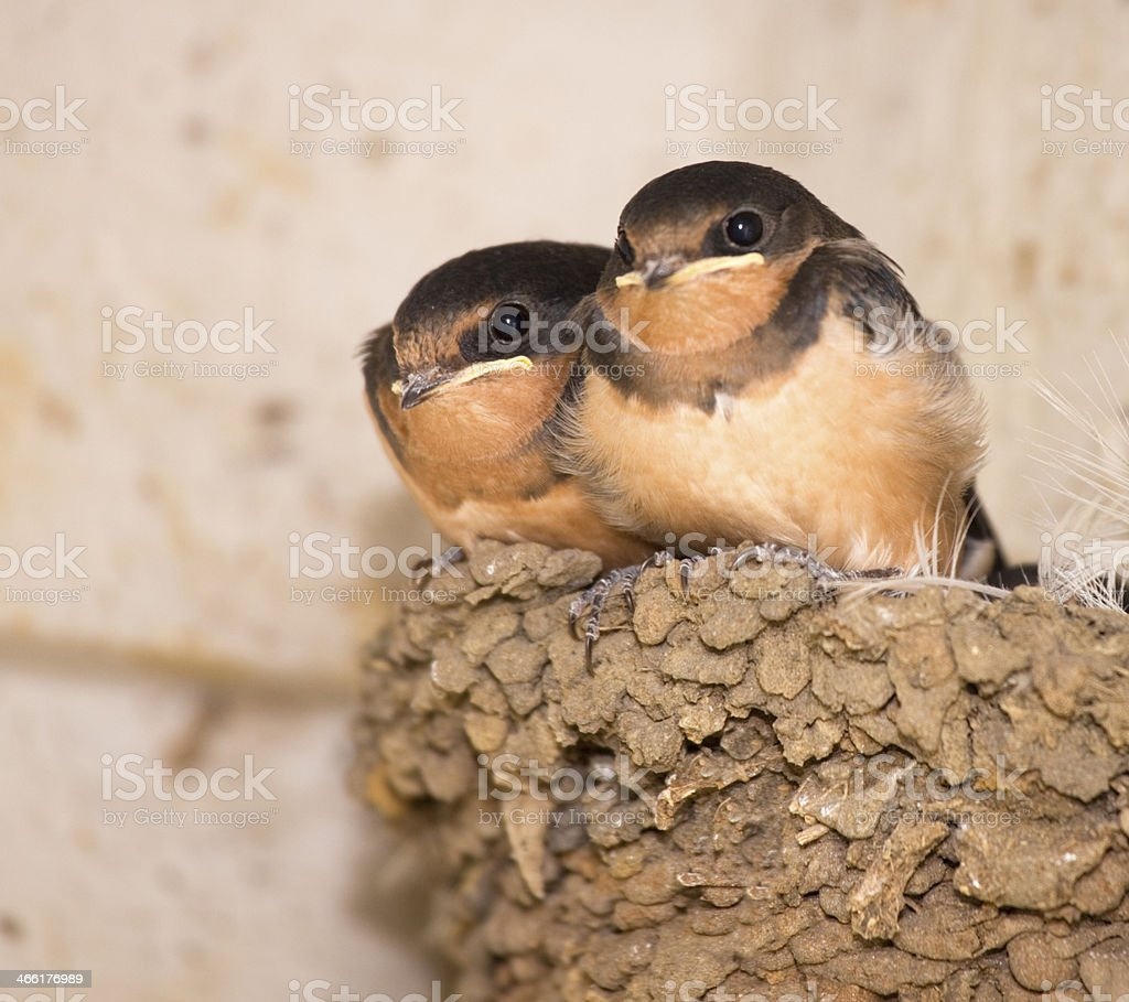 Two baby Swallow Birds in mud nest, watching photographer royalty-free stock photo