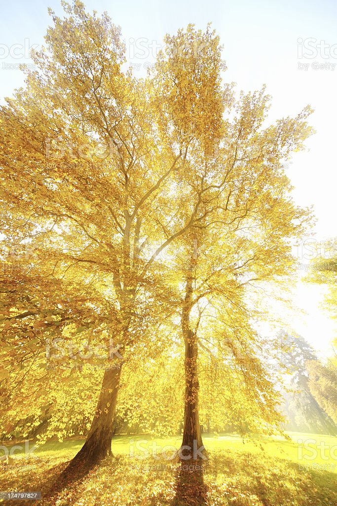 Two backlit trees royalty-free stock photo