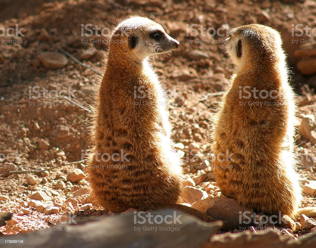 Two backlot meerkats sitting on haunches royalty-free stock photo