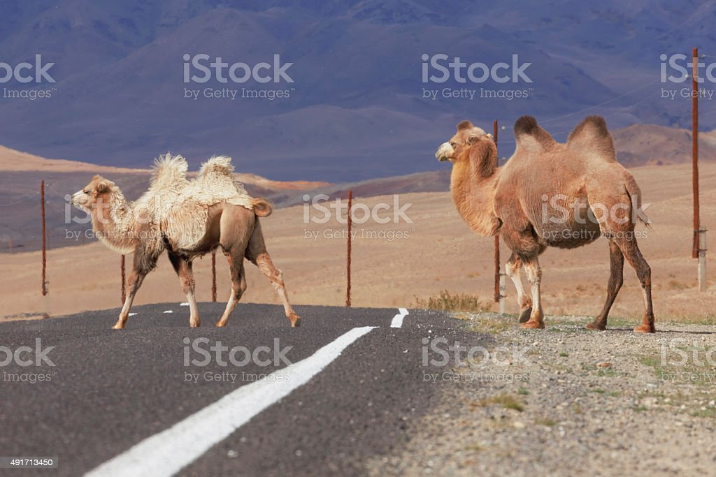 Two Bactrian camels crossing the road stock photo